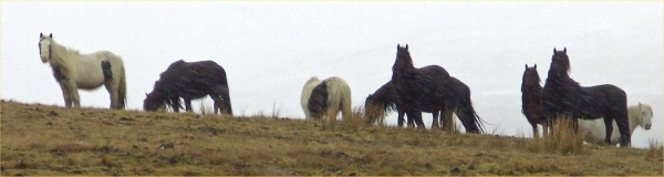 If anyone has any idea how these wild horses ended up in the Howgills, please get in touch!