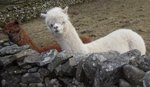 A Dentdale llama from March 2010